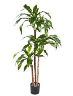 Dracena fragrans steud 120