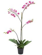 Phalaenopsis Mini in pot  Fuchsia 75
